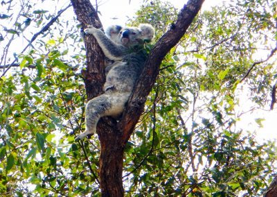Koalas are often seen on our country day rides